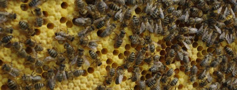 Obchodzimy urodziny nowych pszczół
